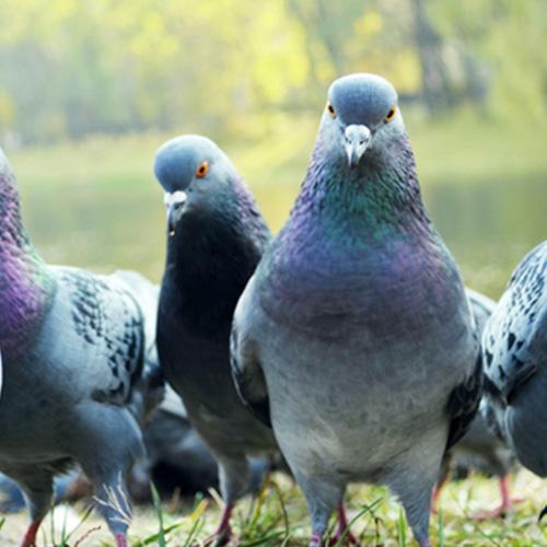 ハト駆除についての画像