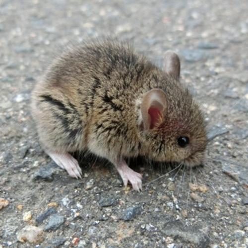 ネズミの駆除について