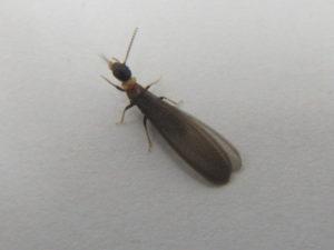 羽アリの画像1