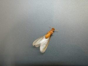 イエシロアリの羽アリ