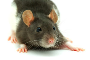 建物内でのネズミ被害・ネズミの生態について