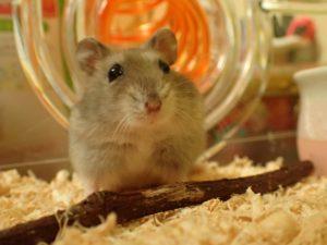 ネズミ駆除はおうちの駆除やさんへ!―ネズミとハムスターの違い―