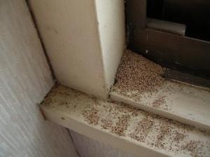 アメリカカンザイシロアリ 糞