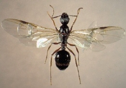 黒蟻 羽アリ